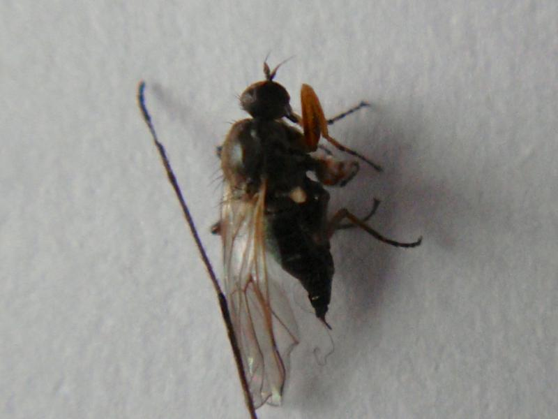 Platypalpus agilis