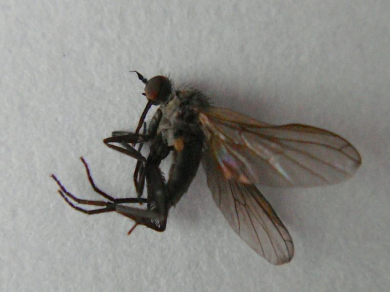 Empis nigripes