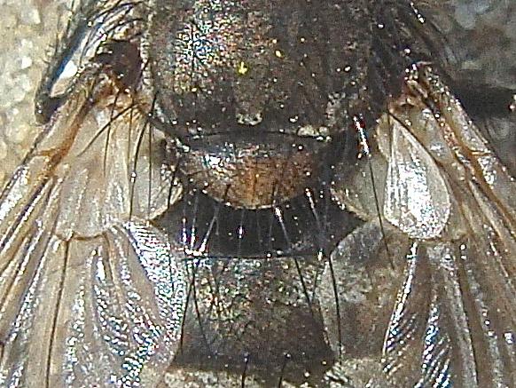 Ernestia puparum