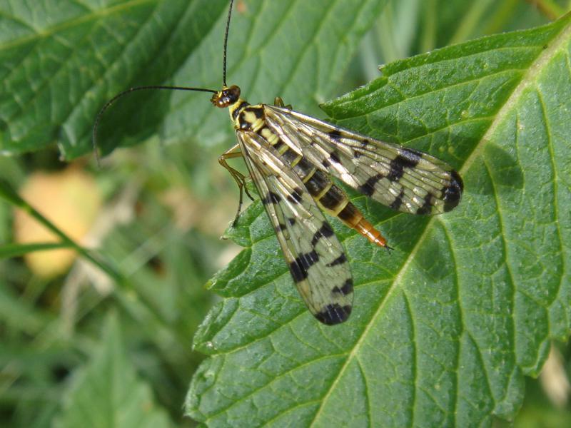 Panorpa communis(f)