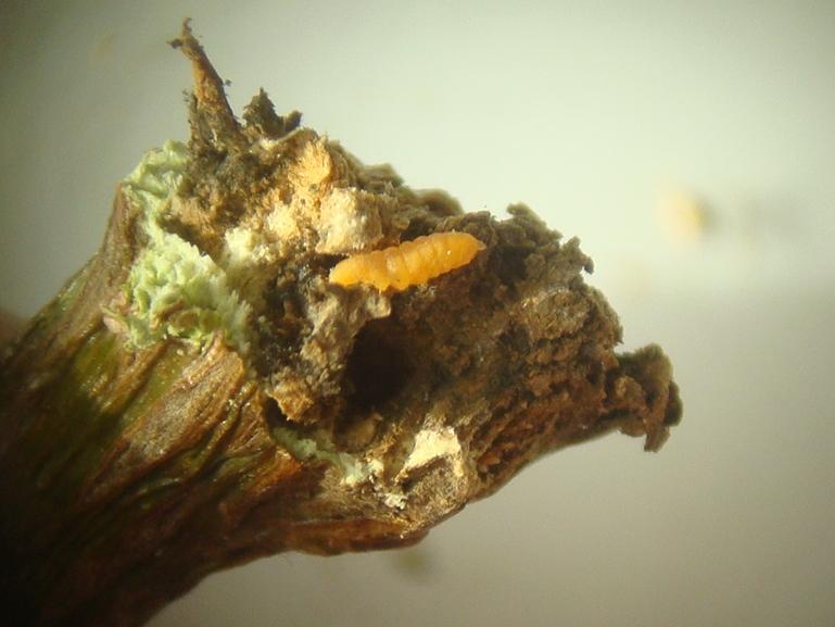 Lasioptera rubi Frambozentakgalmug