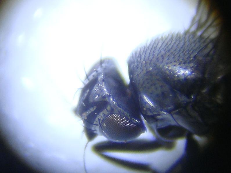 Desmometopa M-nigra