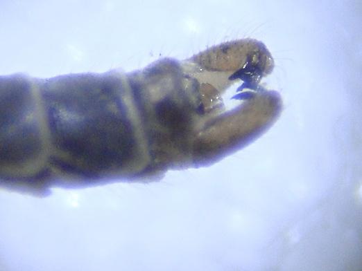 Symplecta hybrida