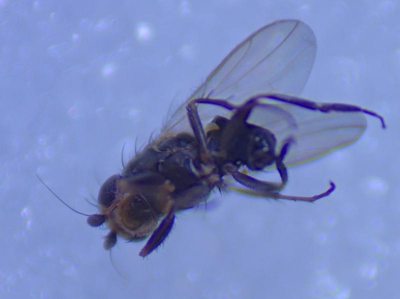 Chaetopodella scutellaris