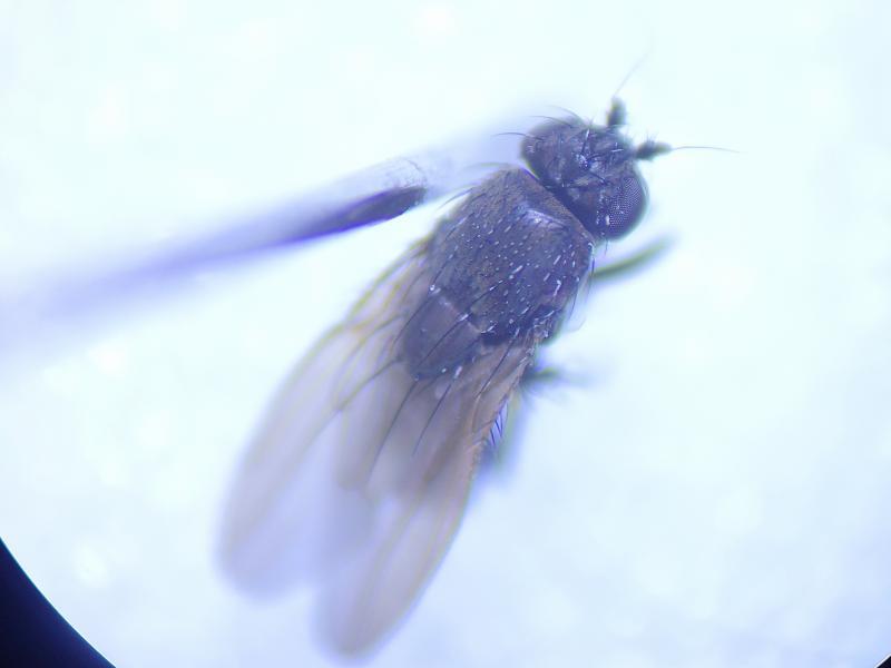 Rachispoda lutosa