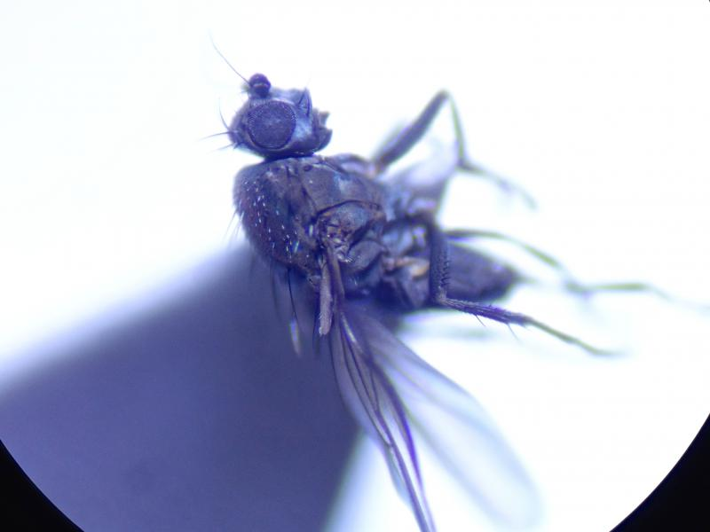 Pseudocolinella humida