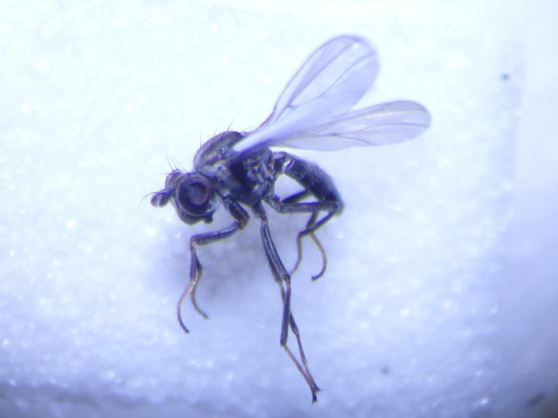 Phyligria spec.