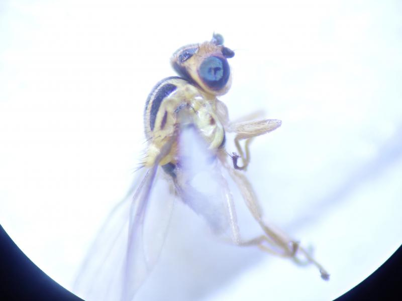 Chlorops hypostigma