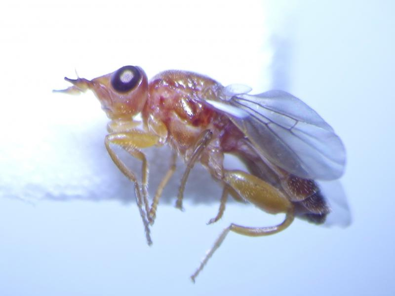Platycephala umbraculata