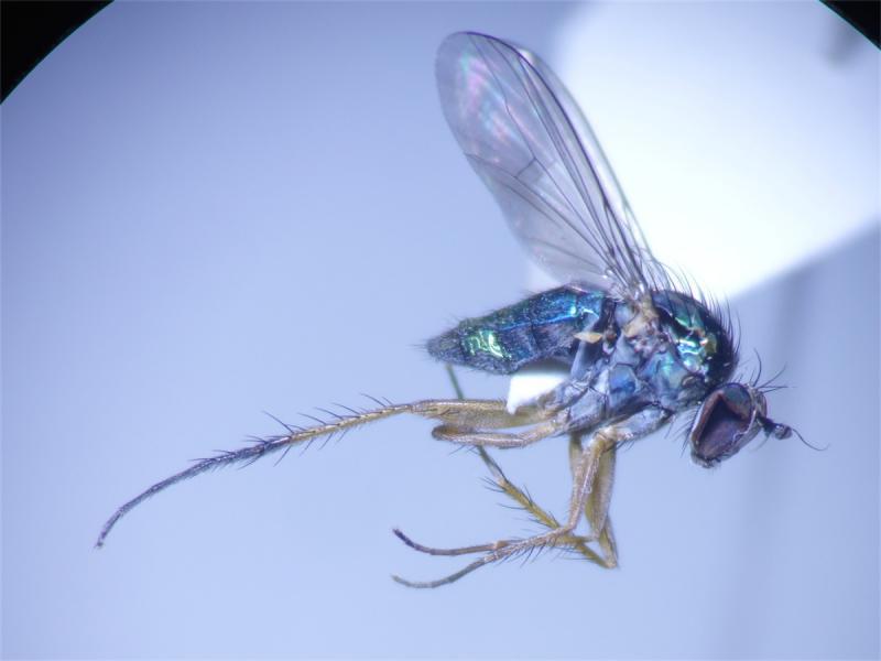 Dolichopus ungulatus