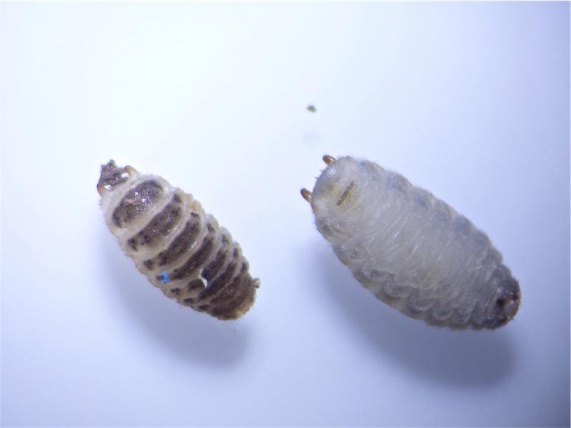 Agathomyia wankowiczii