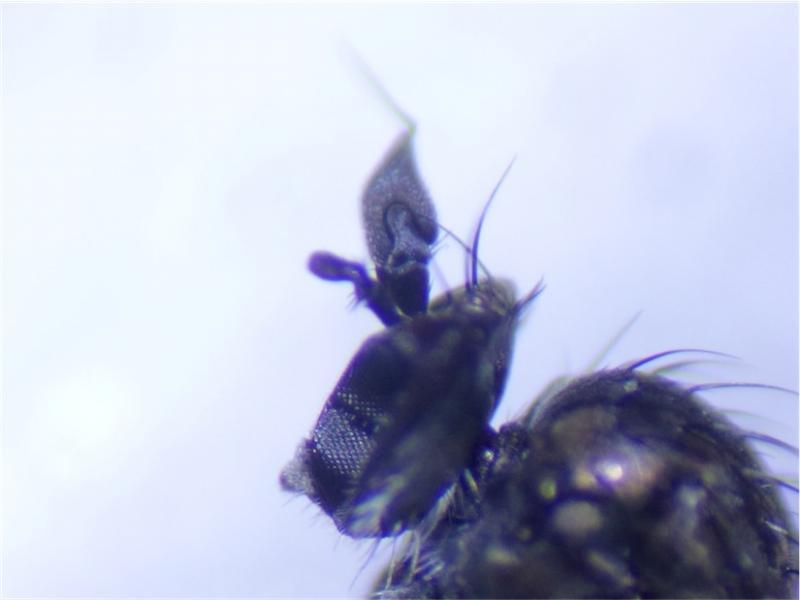 Syntormon denticulatus