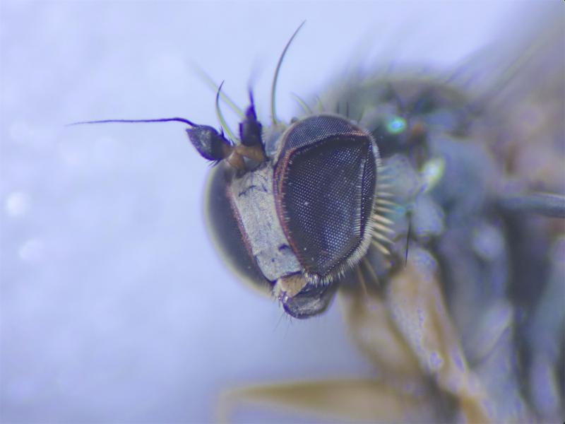 Dolichopus simplex