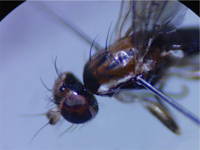 Clusiodes albimanus