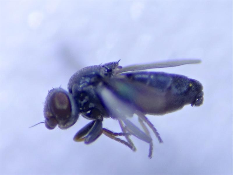 Aphanotrigonum nigripes
