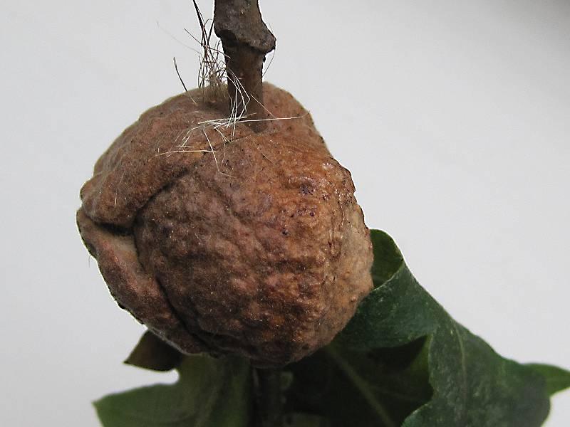 Aphelonyx cerricola (..)