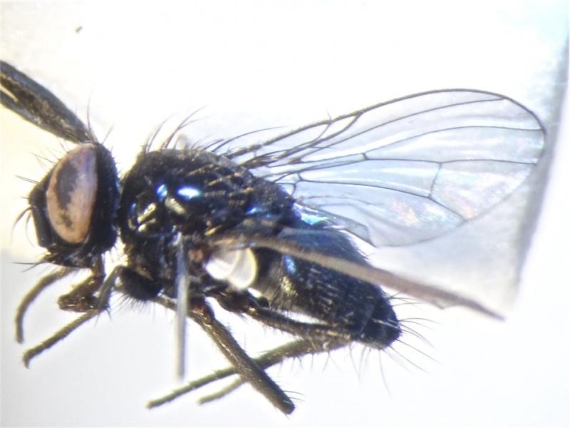 Phaonia atriceps