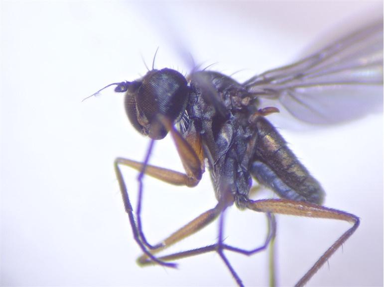 Campsicnemus pumilio