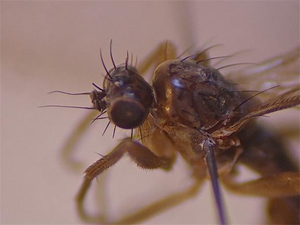 Lonchoptera tristis