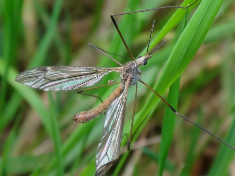 Tipula obsoleta(m)