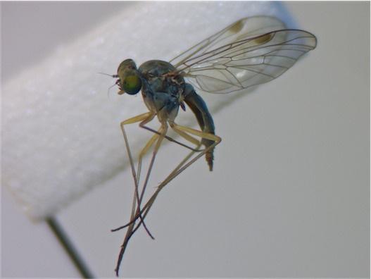 Chrysopilus asiliformis