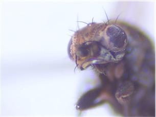 Norrbomia sordida(f)