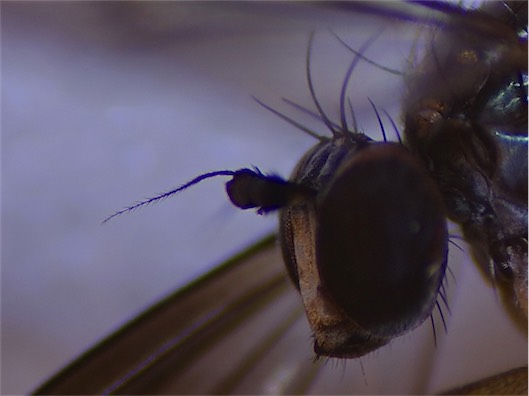 Ethiromyia chalybea