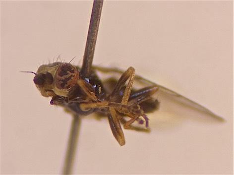 Incertella albipalpis