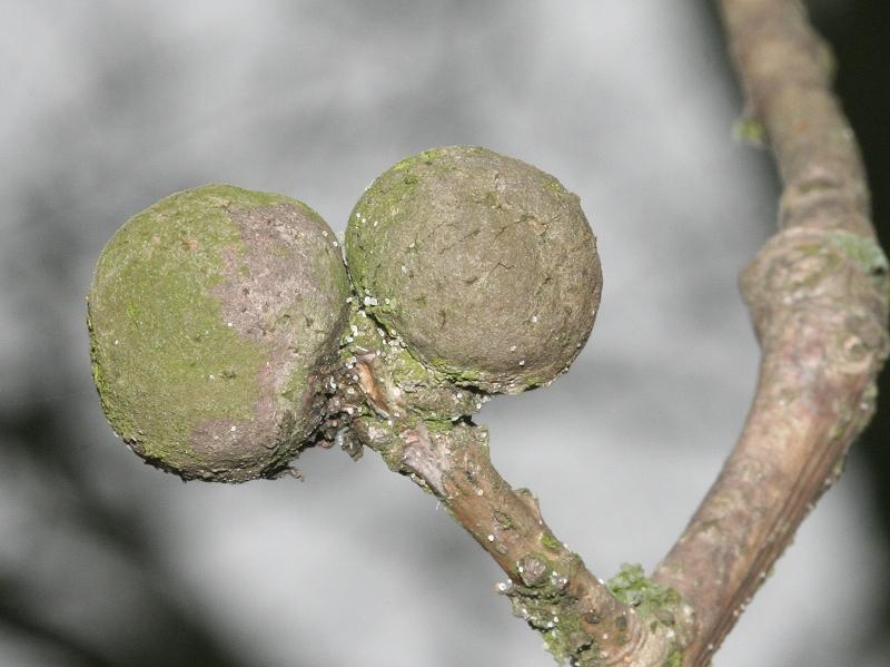 Andricus lignicolus (Hartig, 1840) ff