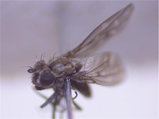 Scatophila caviceps