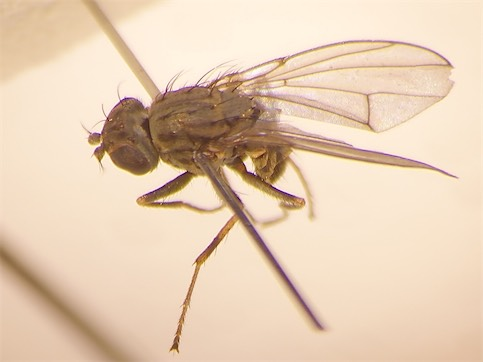 Notophila maculata