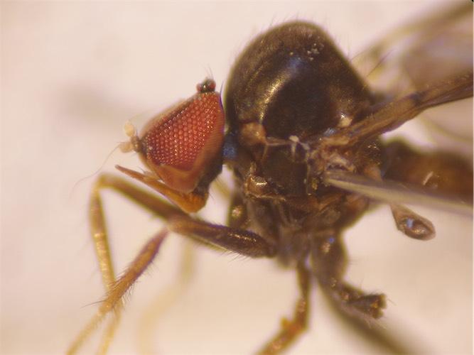 Synechus muscarius