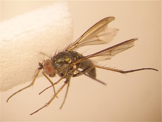 Hercostomus nigriplantis