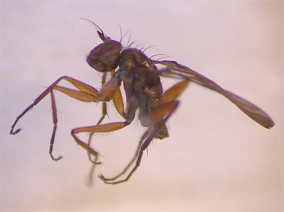 Campsicnemus armatus