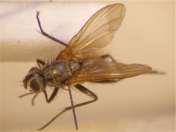 Macquartia grisea(m)