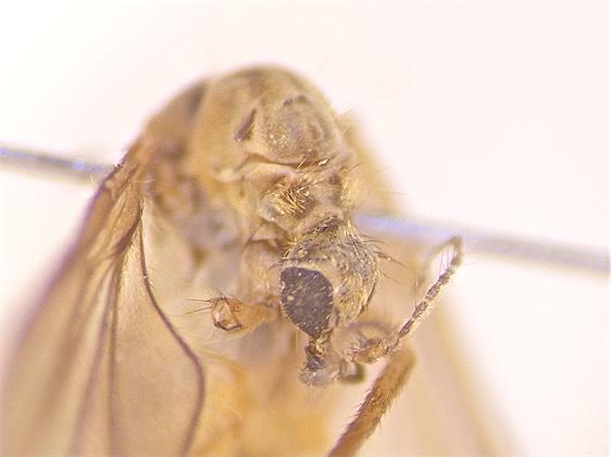 Rhypholophus haemorrhoidalis