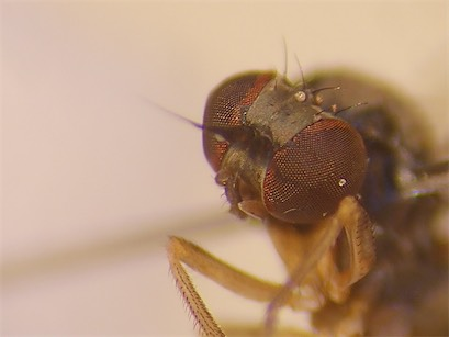 Agathomyia sexmaculata