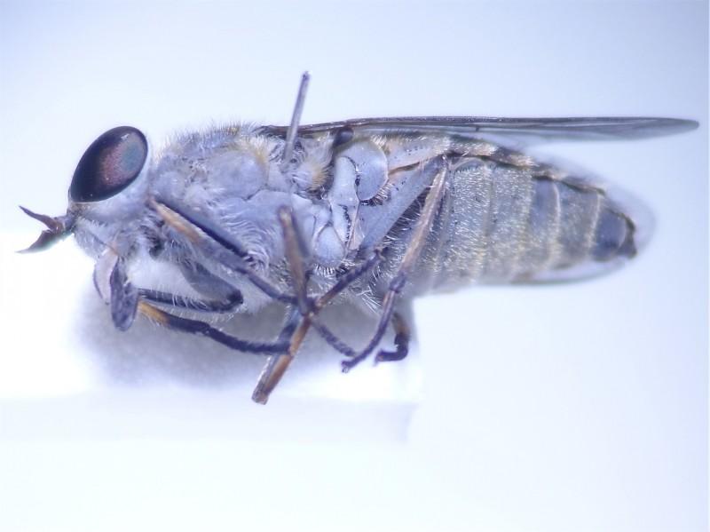 Tabanus maculicornis Grauwe runderdaas