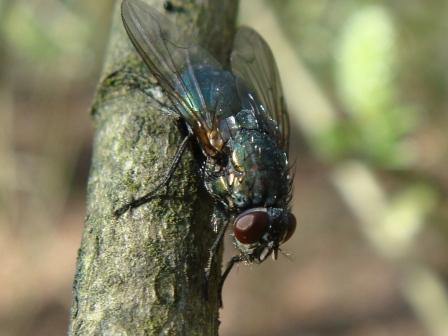 Eudasyphora cyanella