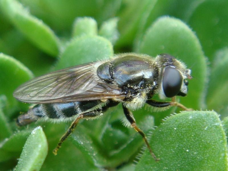 Cheilosia caerulescens Tuingitje)