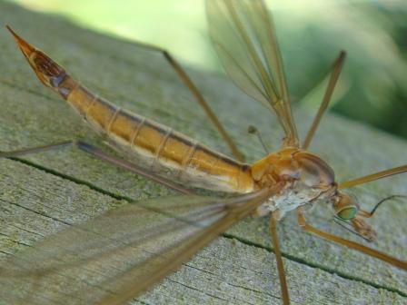 Tipula cava(f)