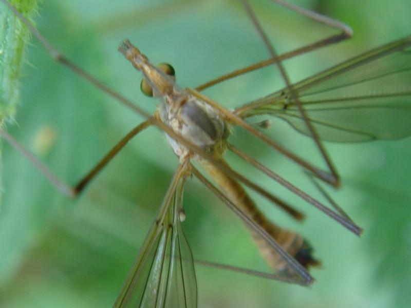 Tipula fascipennis(m)