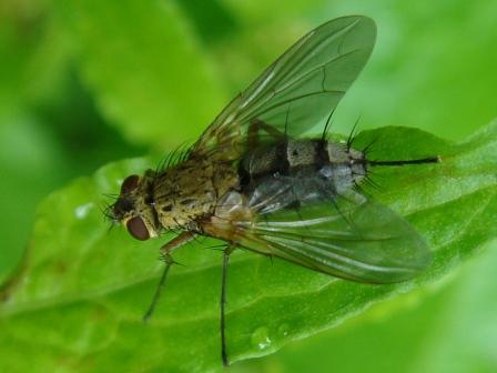 Dexiosoma caninum(f)