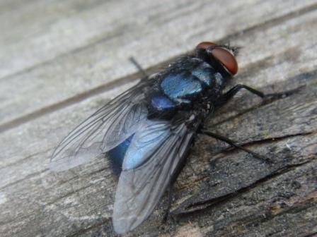 Protocalliphora azurea(m)