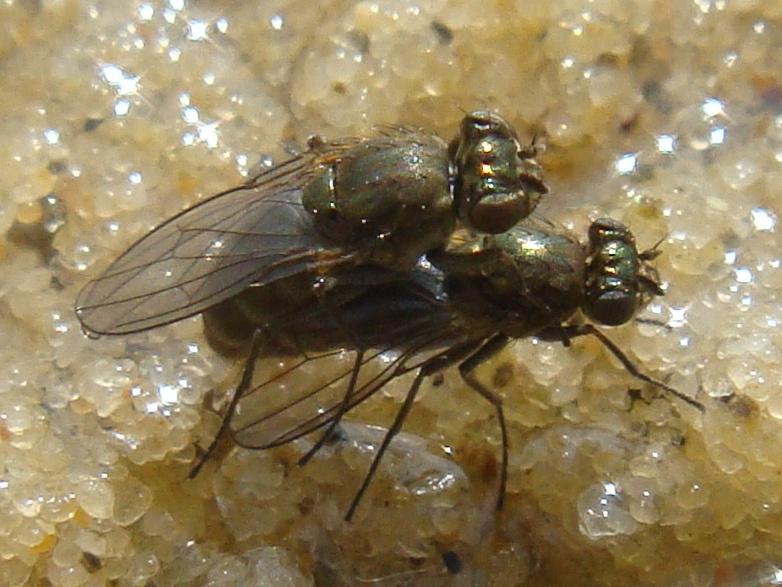 Ephedridae Soort Oevervlieg