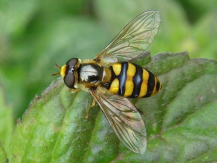 Eupeodes latifasciatus Grote Kommazwever(f)