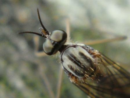 Sylvicola punctatus