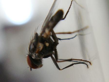 Fannia canicularis Kleine kamervlieg