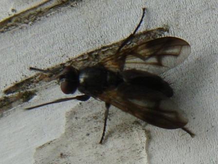 Paykullia maculata