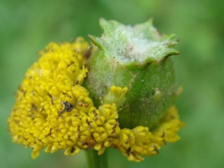 Rhopalomyia tanaceticola